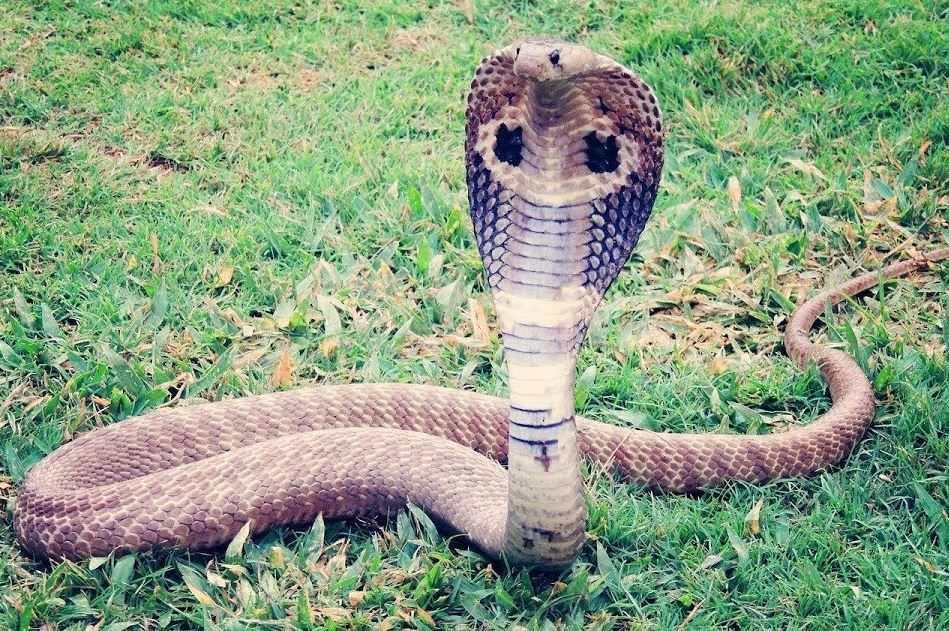 Inilah Sebab Mengapa Kobra Masuk ke Perumahan