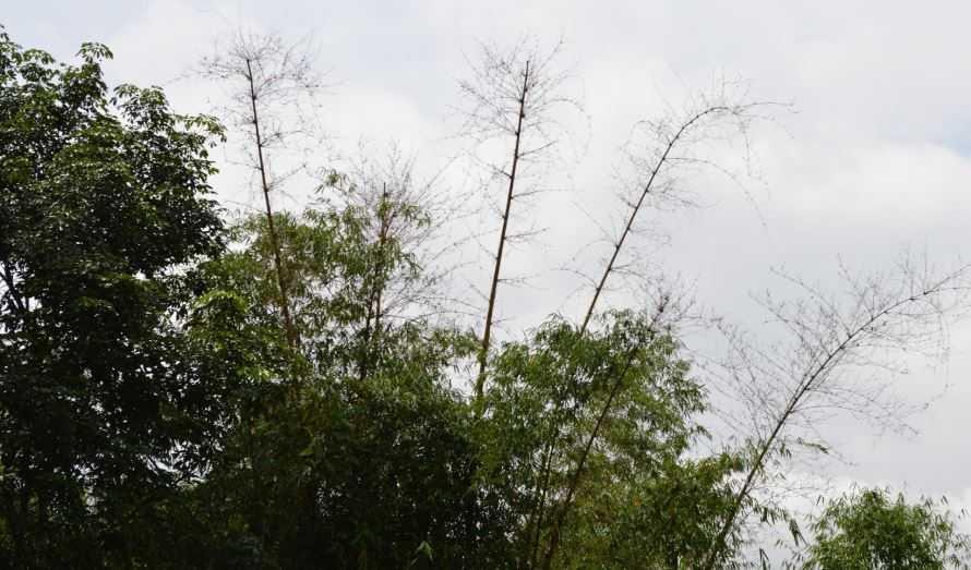Viral Video Pohon Bambu di Madura 'Berbuah'